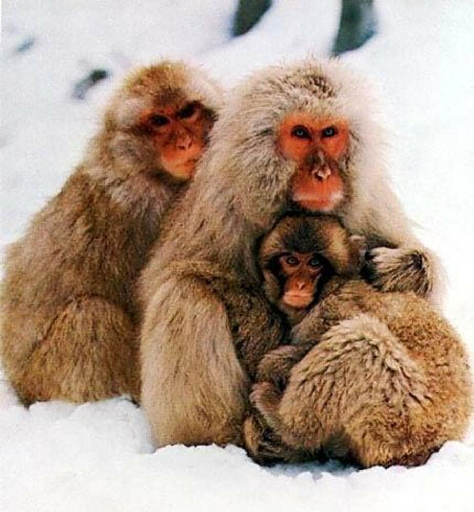 В калининградский зоопарк привезли японских макак из Германии - Новости Калининграда