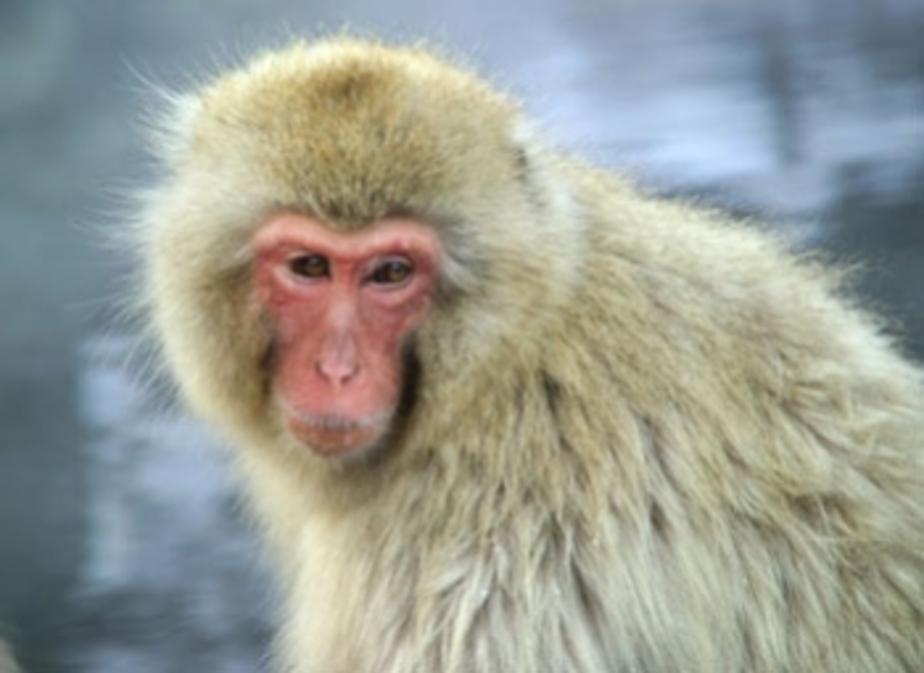 На вольеры обезьянам в калининградском зоопарке может не хватить денег - Новости Калининграда