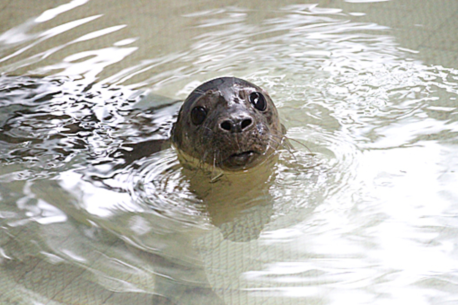 Раненному тюлененку подыскивают место на Куршской косе - Новости Калининграда