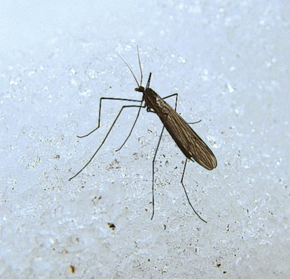 На Куршской косе летают снежные комары - Новости Калининграда