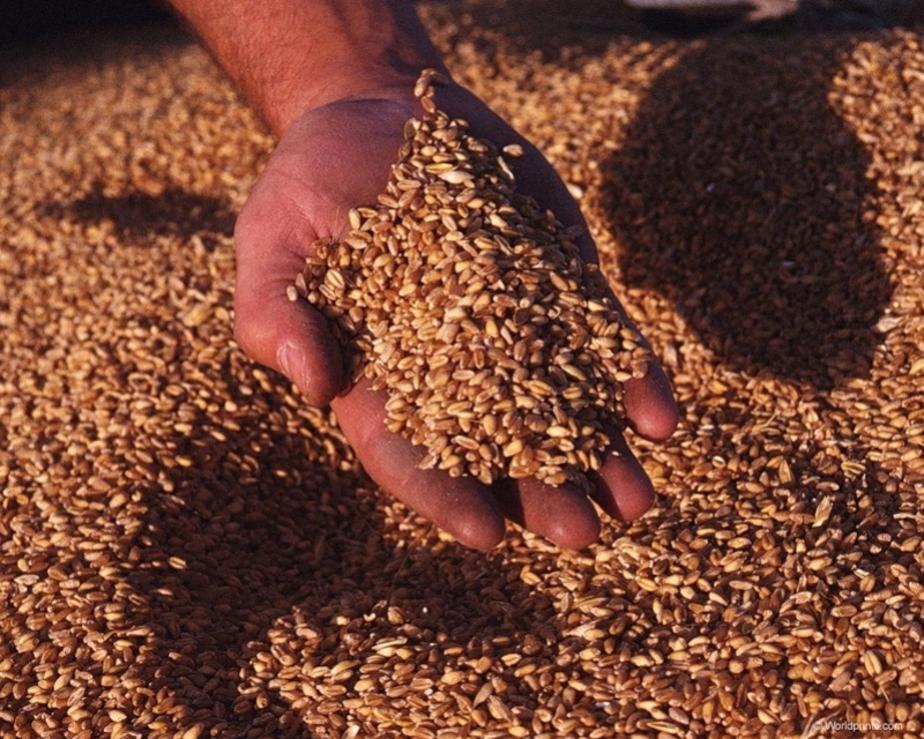 """В Калининграде оштрафована компания -""""Балтснаб-"""" за неправильное хранение 40 тонн зерна - Новости Калининграда"""