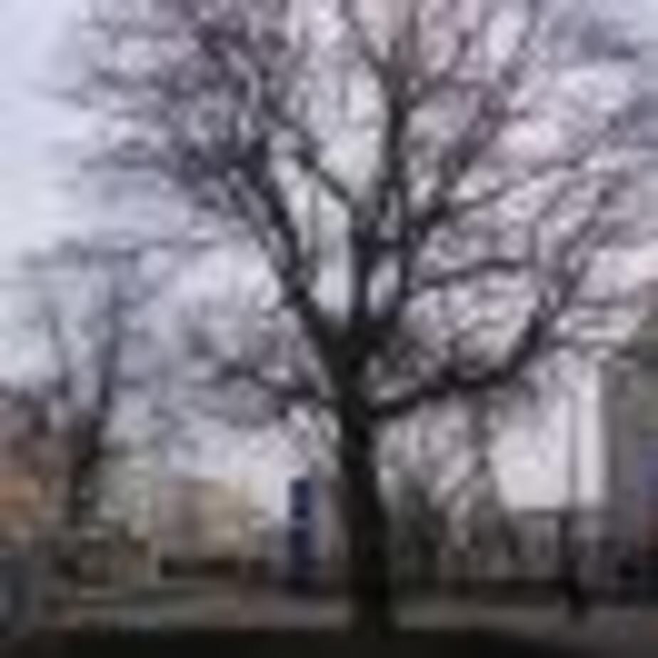 """Деревья у """"Европы-центра"""" - Новости Калининграда"""