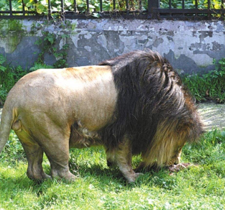 Администрация зоопарка извинилась за то, что лев съел на глазах у публики жирафа - Новости Калининграда