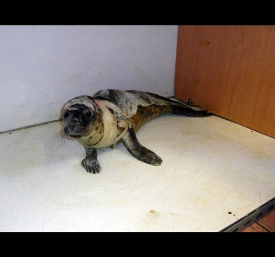 День лечения найденного у ветклиники тюлененка обходится в 500 рублей - Новости Калининграда