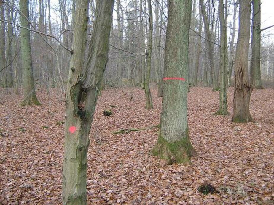 В чкаловском лесу вновь пометили краской деревья. Будут рубить? - Новости Калининграда