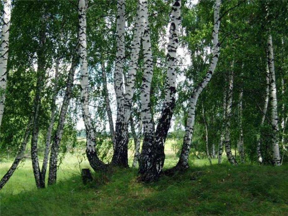 В лесу под Озерском незаконно спилили 7 берез и 17 елей - Новости Калининграда
