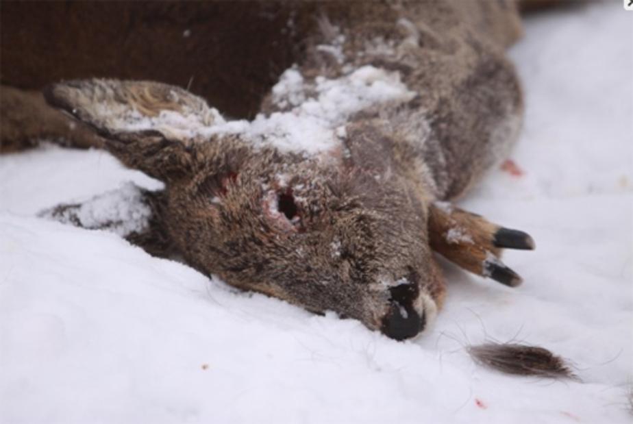 Голодные псы из Калининграда нападают на литовских косуль и зайцев - Новости Калининграда