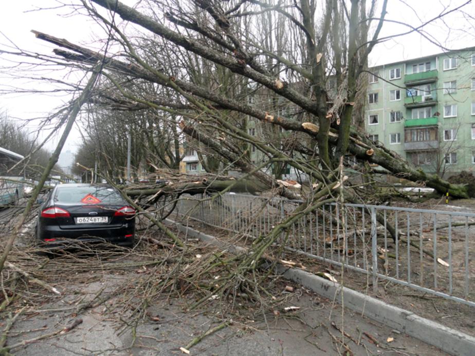 На ул- Сергеева огромный тополь упал на автомобиль - Новости Калининграда