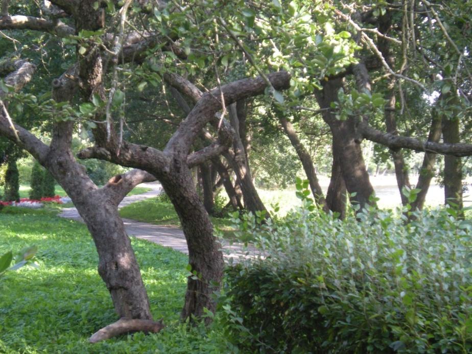 Где танцующие деревья? - Новости Калининграда