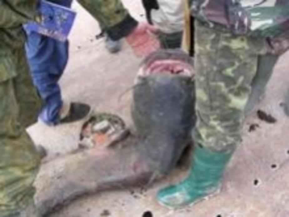 Огромного сома поймали рыбаки в Каунасском море - Новости Калининграда
