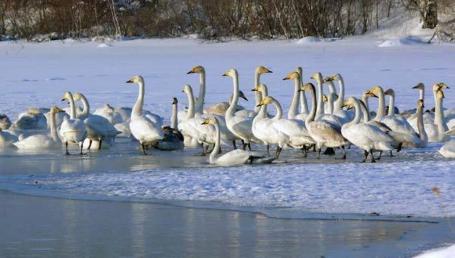 Спасите лебедей! - Новости Калининграда