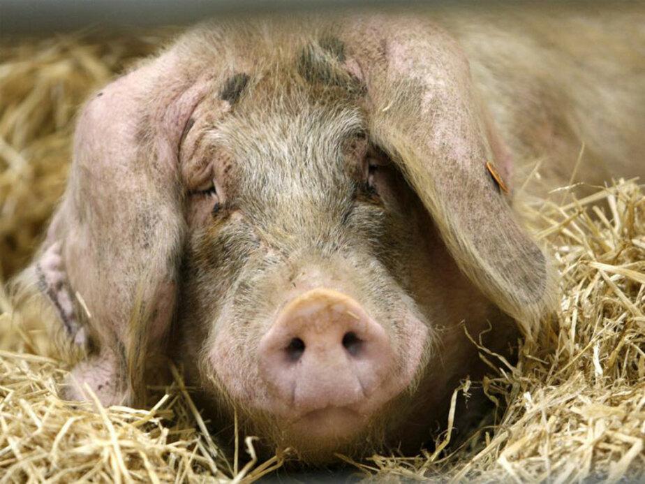 Африканская чума свиней в Правдинском районе не подтвердилась - Новости Калининграда
