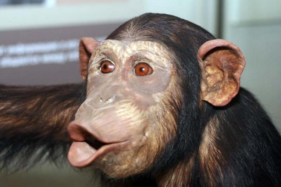 Обезьянник в калининградском зоопарке откроется весной - Новости Калининграда