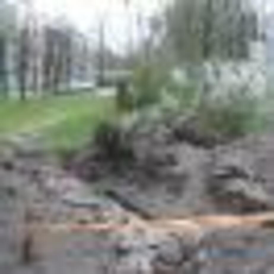 Погубили цветущие вишни - Новости Калининграда