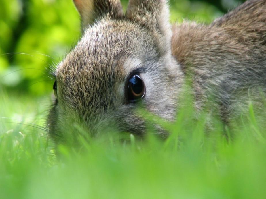 Житель Советска украл у дачника кроликов - Новости Калининграда