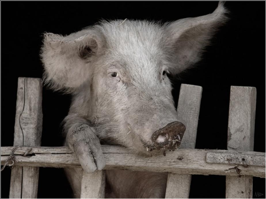 Россельхознадзор бьет тревогу- Калининграду угрожает африканская чума свиней - Новости Калининграда