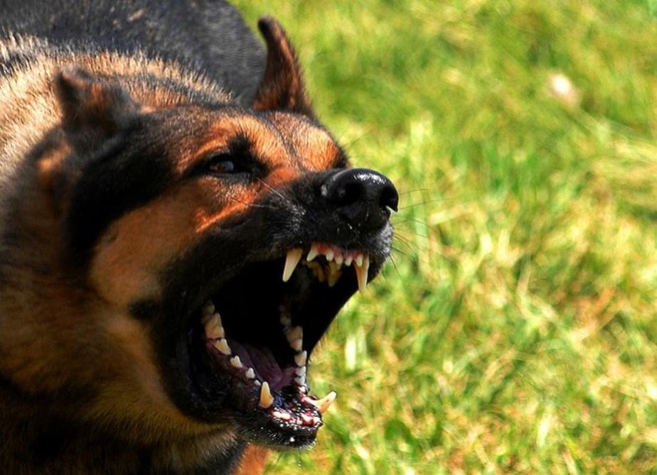 Покусанная собаками жительница Советска требует компенсации с их хозяина - Новости Калининграда