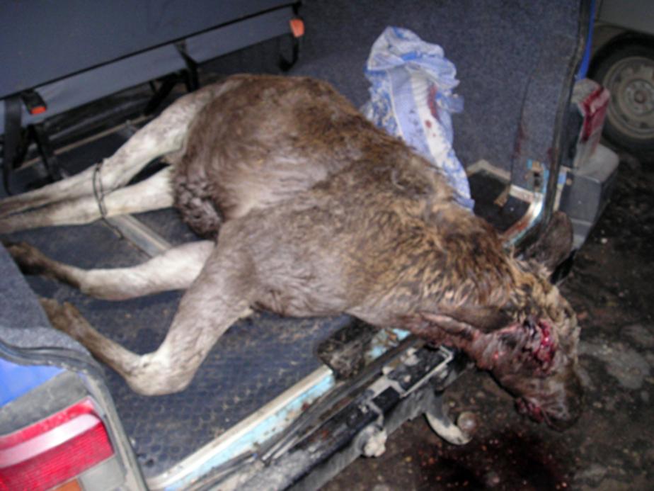 Под Славском браконьеры застрелили лосенка на утиной охоте - Новости Калининграда