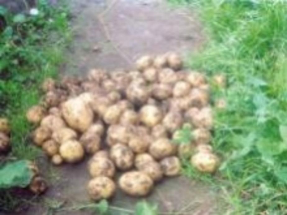 За уклонение от проверки картофеля заплатят 44 тыс- рублей - Новости Калининграда