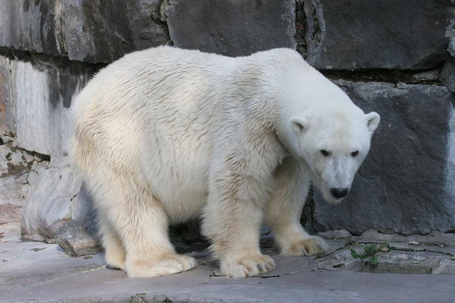 В калининградском зоопарке умерла белая медведица Снежинка