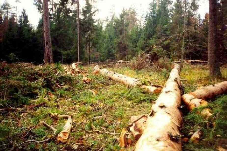 Жителя Приморска задержали за незаконную вырубку деревьев - Новости Калининграда
