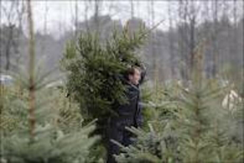 За 2 срубленные елки на Куршской косе калининградец заплатит 7-7 тыс- руб
