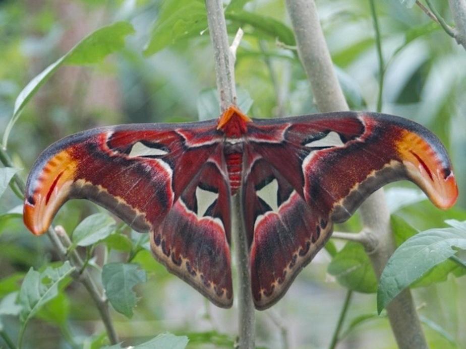 Калининградцам покажут самую большую бабочку в мире - Новости Калининграда
