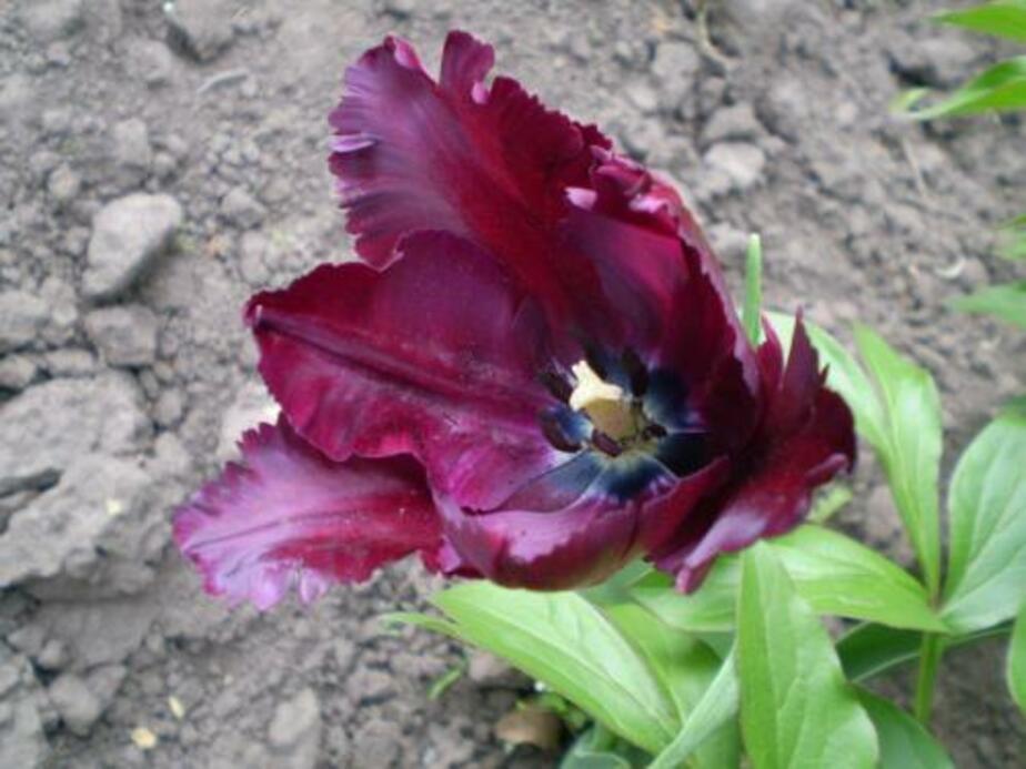 До конца апреля на клумбах в Черняховске высадят более 17 тыс- цветов - Новости Калининграда