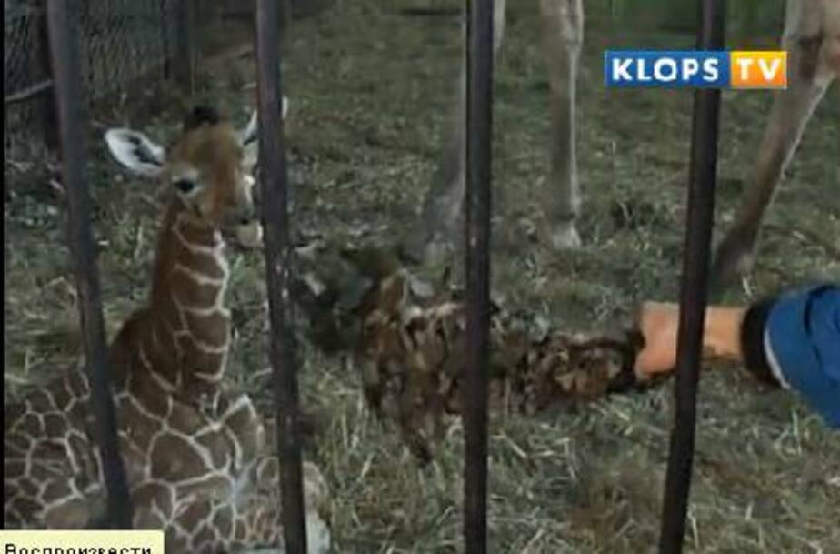 Родившегося в ноябре в зоопарке жирафенка назвали Меридой