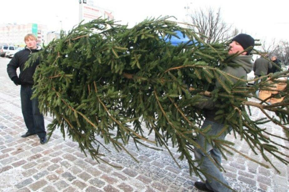 Калининградцам помогут расстаться с новогодними елками - Новости Калининграда