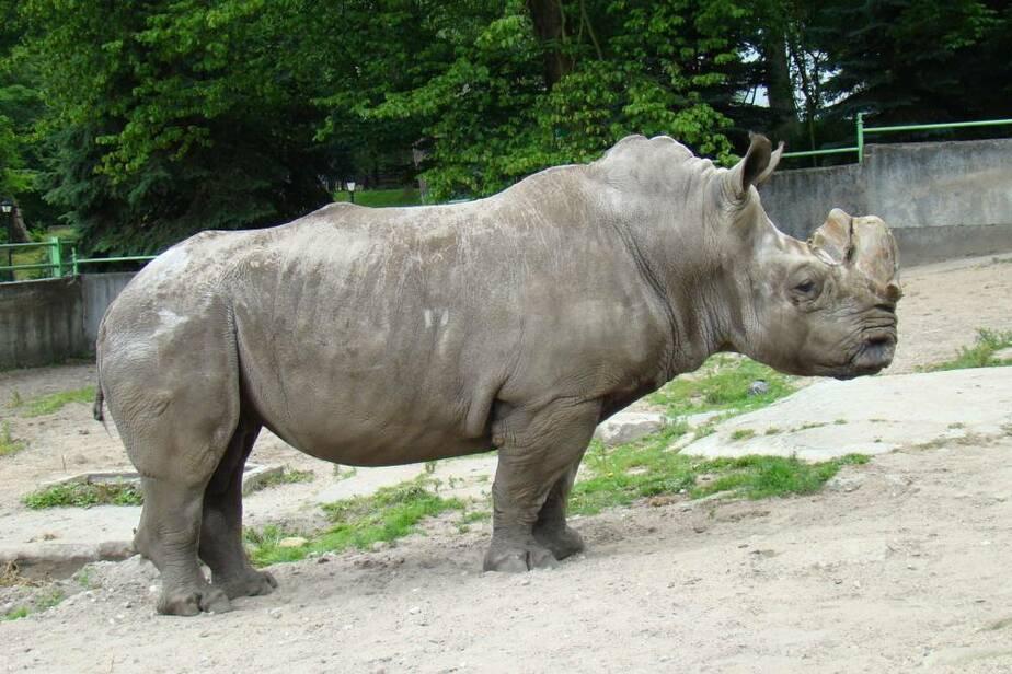 В Калининградском зоопарке умер очень редкий белый носорог Теодор - Новости Калининграда
