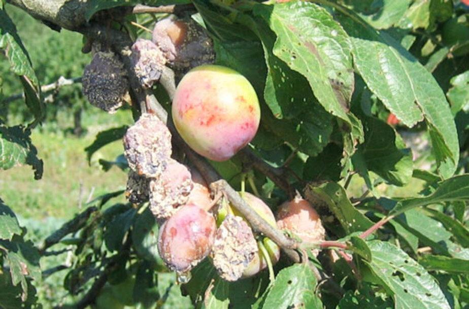 Внимание – ожог плодовых деревьев! - Новости Калининграда