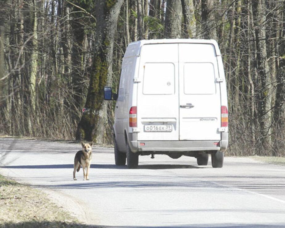 Под Правдинском собака продолжает ждать хозяина на трассе