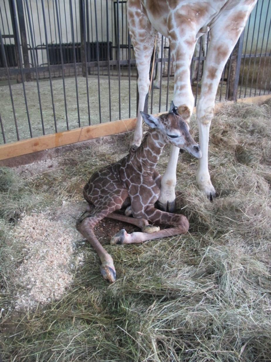 В Калининградском зоопарке родился жираф - Новости Калининграда