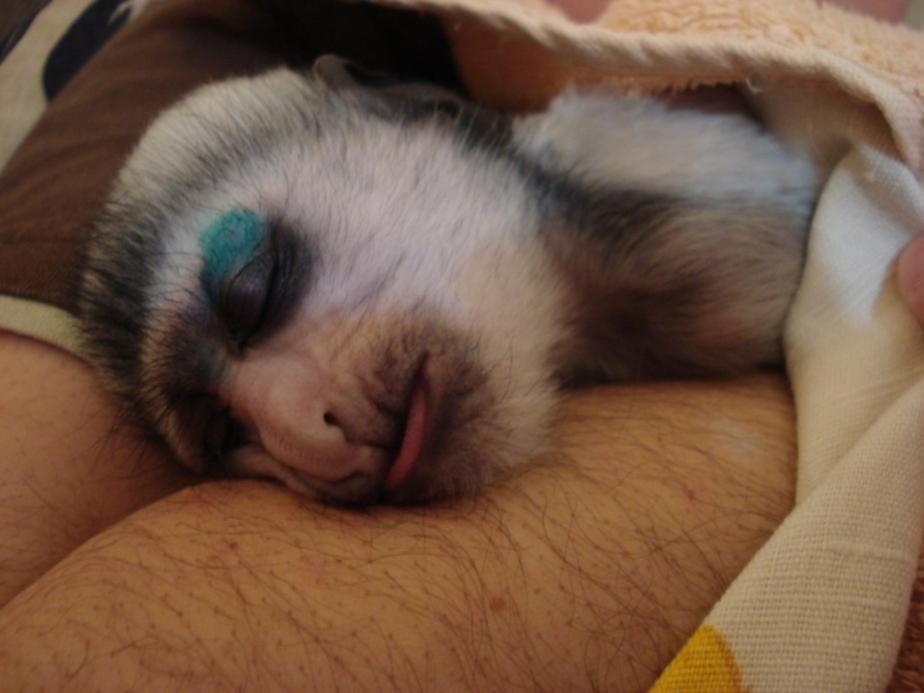 В калининградском зоопарке умер детеныш колобуса - Новости Калининграда