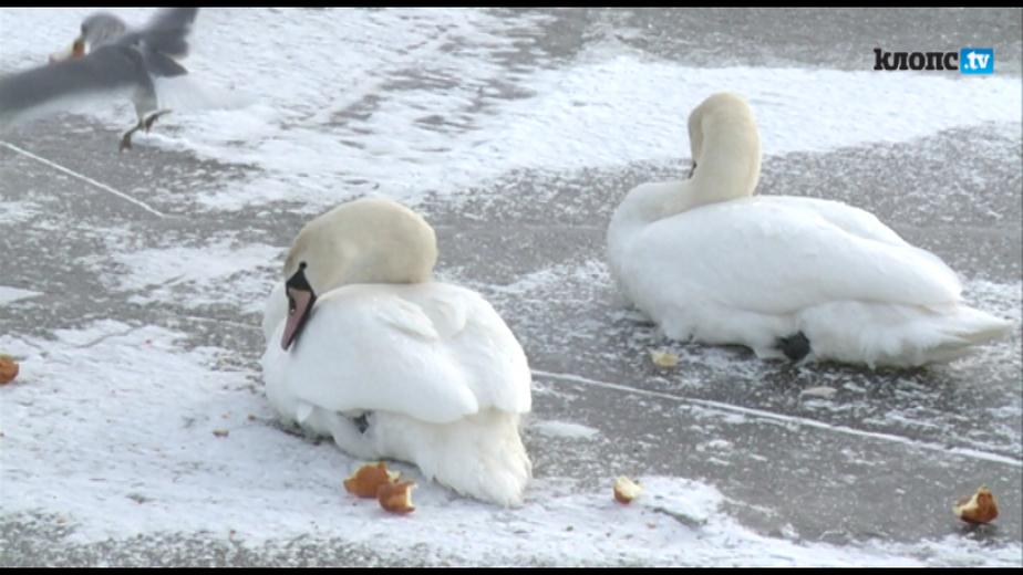 Под Калининградом дачники пытаются спасти от мороза стаю лебедей - Новости Калининграда