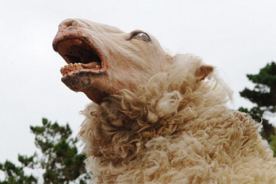 Безработный уголовник украл две овцы у фермера- чтобы съесть их - Новости Калининграда