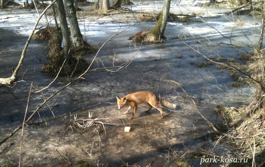 106 кабанов- 44 лисы и 18 зайцев- на Куршской косе посчитали зверей - Новости Калининграда