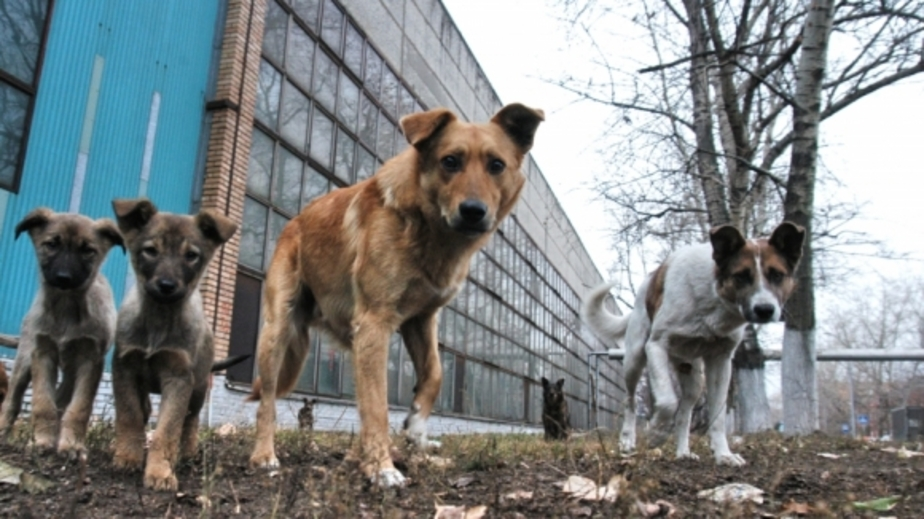 В Зеленоградске на территории школы на мальчика напала бездомная собака - Новости Калининграда