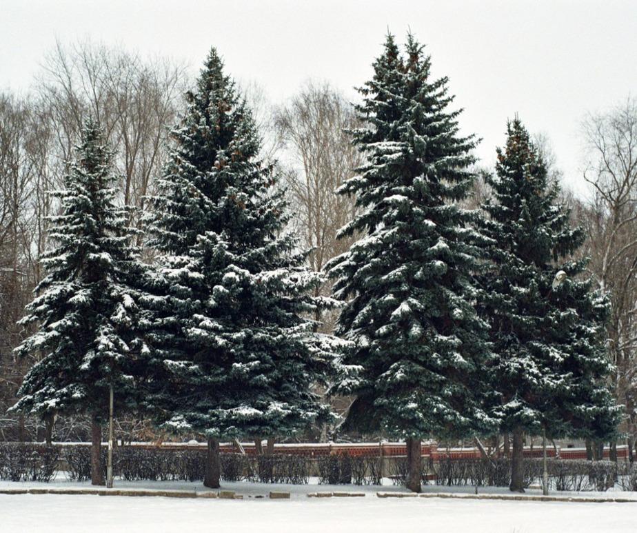 В Пионерском прокуратура запретила переносить ели из парка - Новости Калининграда