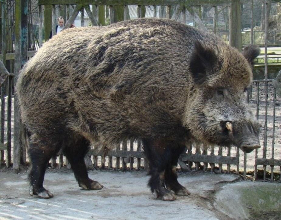 В калининградском зоопарке из-за угрозы чумы изолировали кабана - Новости Калининграда