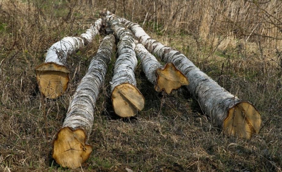 Житель Храброво вырубил на своем участке деревьев на 400 тыс- - Новости Калининграда