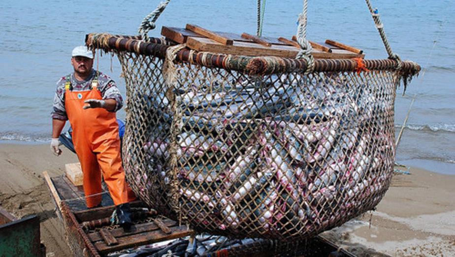 Капитан судна и предприниматель незаконно выловили салаки на 40 млн- - Новости Калининграда