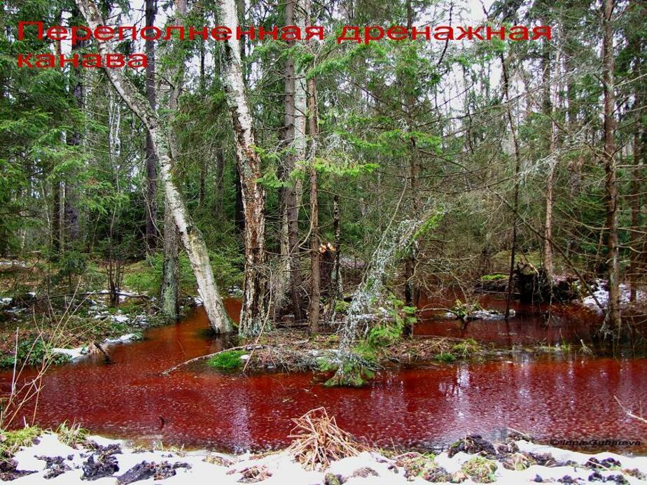 На Куршской косе вода в канавах окрасилась в красный цвет - Новости Калининграда
