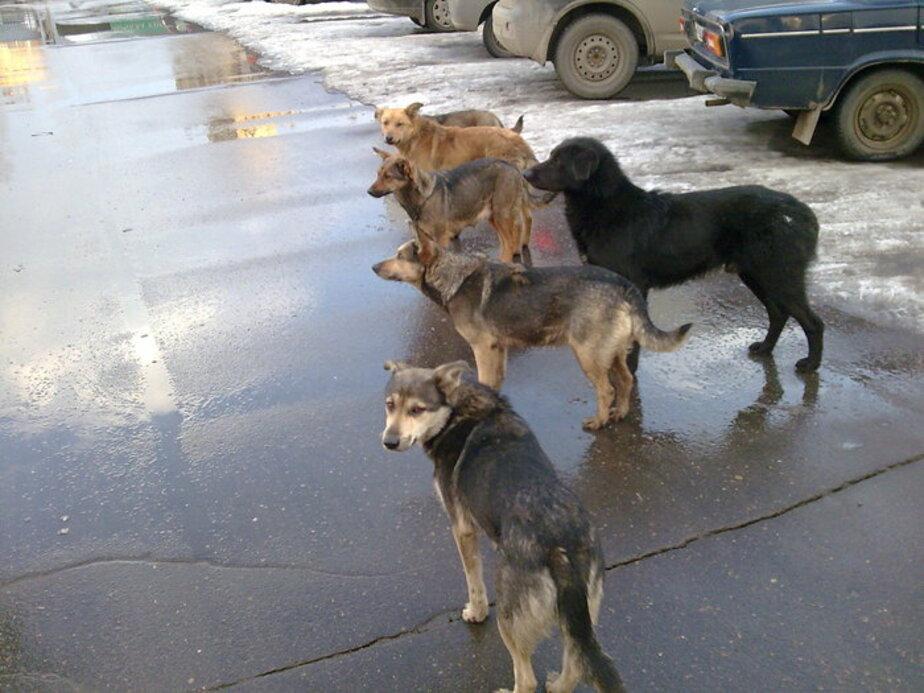 В Балтийске стая собак чуть не разорвала девочку - Новости Калининграда