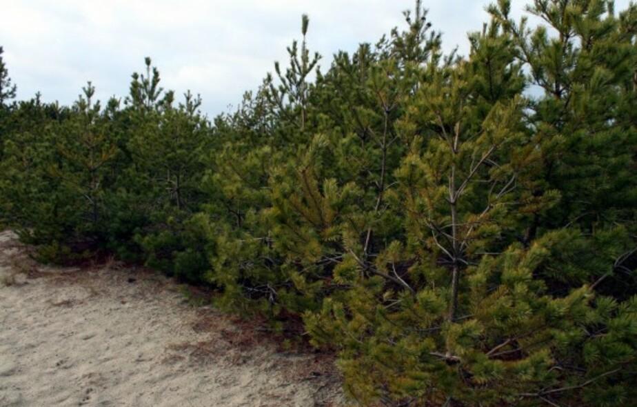 Срубившего на Куршской косе две елки калининградца оштрафовали на 11-5 тыс- - Новости Калининграда