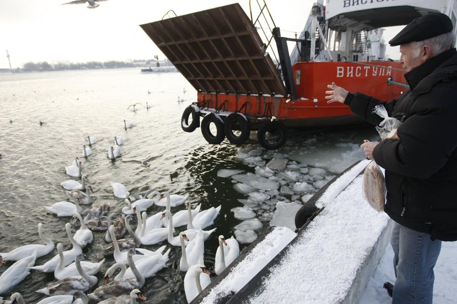 В Балтийске накормили замерзающих лебедей - Новости Калининграда