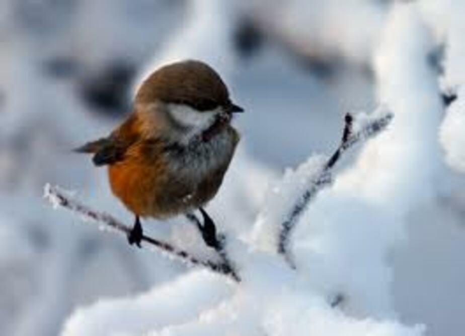 Первые прилетевшие птицы в Калининград погибают от голода - Новости Калининграда