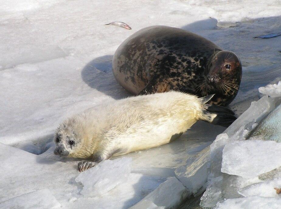 Не пытайтесь «пристроить» тюленя - Новости Калининграда