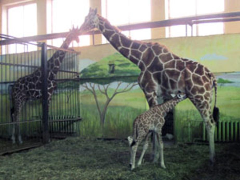 В Калининградском зоопарке родился жирафенок - Новости Калининграда
